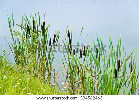 Bulrush, or cattail (Typha) on the shore of the pond Сток-фото ©