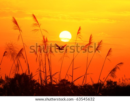 bulrushes against sunlight over sky background in sunset with a flighting bird #63545632