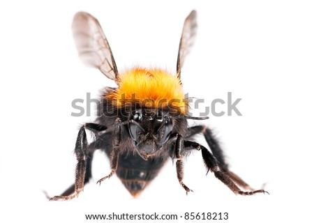Bumble bee are social insects. Greater DOF.