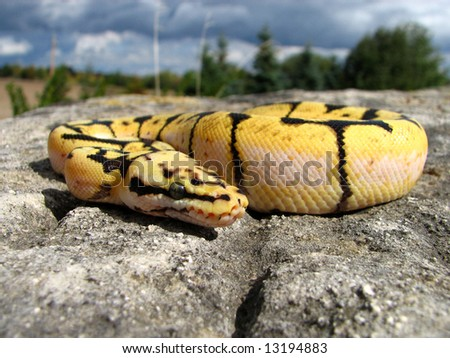 Bumble Bee Ball Python - stock photo