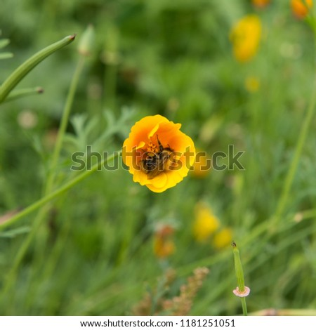 Bumble Bee (Bombus) inside the Flower Head of a California Poppy (Eschscholzia californica) in a Country Cottage Garden in Rural Devon, England, UK