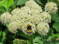 bumble bee collecting pollen from hogweed also known as cow parsnip