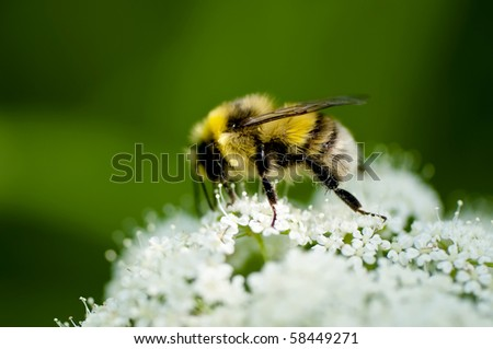 Bumble bee collecting pollen in the summer sunshine