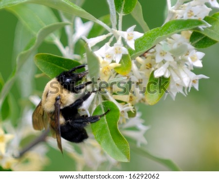 bumble-bee collects nectar and pollinates flowers