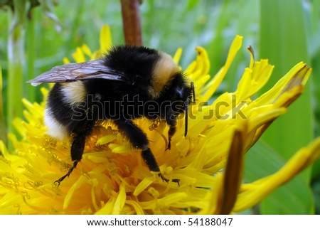 Bumble-bee collects nectar on yellow flower