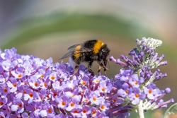 Bumble bee feeding nectar from a butterfly-bush flower