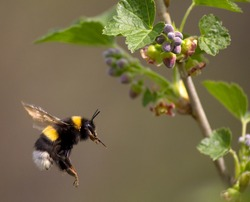 bumble bee flying to flower, spring 2012, near Moscow, Russia