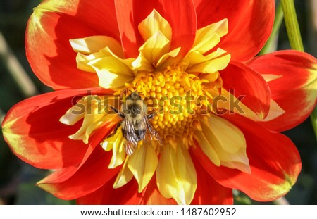 Photo of  Bumble bee in a Dahlia Pooh Flower