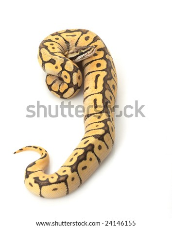 Bumble Bee Mojave Ball Python (Python regius) isolated on white background.