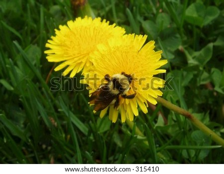 Bumble bee on a dandelion.