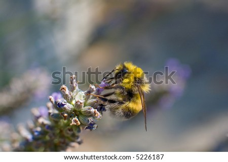 bumble bee on a lavender purple flower - shallow depth of field