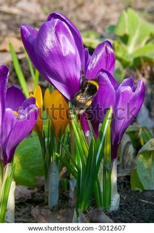 Bumble-bee on crocus flower
