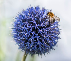 Bumble Bee on Echinops or Globe Thistle