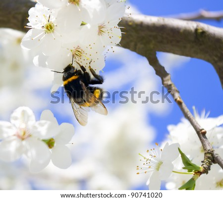 bumble-bee on the brunch of blossoming spring tree