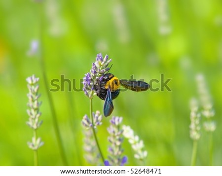 Bumble bee pollinating a lavender flower in a green meadow