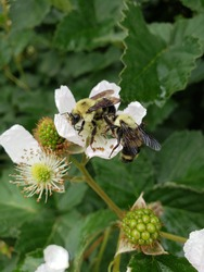 Bumble Bee Pollinating Blackberry  Patch