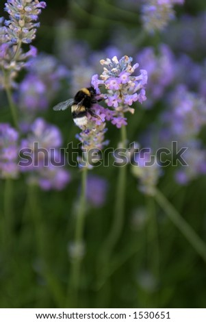 Bumble Bee sitting in a Lavender flower