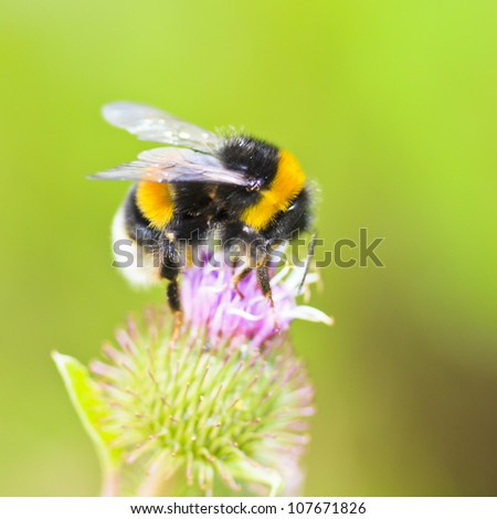 Bumble-bee sitting on wild flower