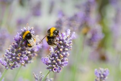 Bumble bees pollinating lavender (lavandula angustifolia) flowers. Insect pollination in summer, UK