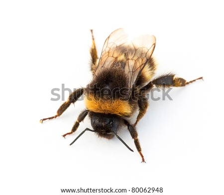 Bumblebee against a white background
