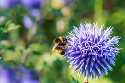Bumblebee and Blue flowering plant, Echinops sphaerocephalus or glandular globe thistle or great globe thistle or pale globe-thistle. Perfect attracting pollinator plant