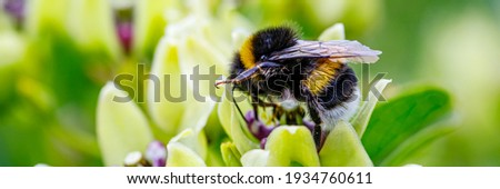 Bumblebee and white Flower, closeup. Small honey plant, attracting pollinators such as honey bees or bumblebee , banner Stock photo ©