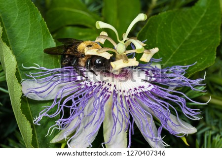 Bumblebee (Bombus sp.) nectaring on North American native passion flower (Passiflora incarnata). Ring of five horizontal anthers are pushed down on the back of the bee when it goes for the nectar.