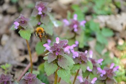 Bumblebee - bombus terrestris collects pollen from a Blooming Lamium maculatum Roseum (also known as spotted henbit, spotted dead-nettle, purple dragon) flowers. Selective focus
