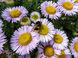 bumblebee collecting nectar from seaside daisies