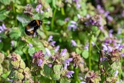 Bumblebee collecting nectar pollen from red dead nettle flowers in early spring