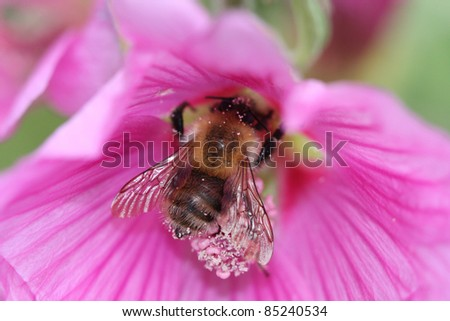 bumblebee collecting pollen in a large pink flower