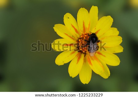 Bumblebee collects nectar on a yellow ziniya flower Tsiniia flower on an isolated green background