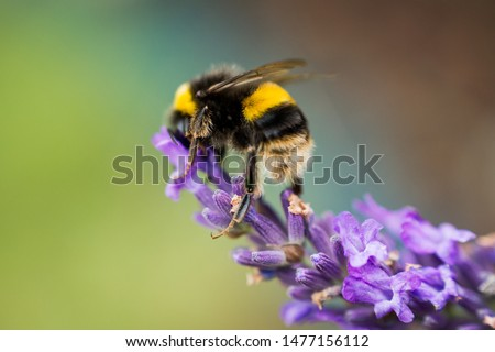 Bumblebee feeding from a lavender Stock photo ©
