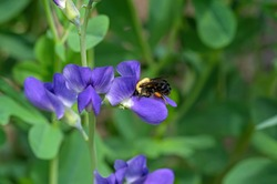 Bumblebee feeding on blue false indigo known as blue wild indigo on a cloudy day in the garden. It is a flowering plant that is toxic.