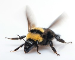 Bumblebee flaps its wings on a white background