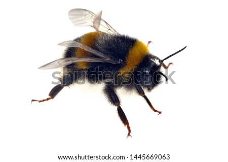 Bumblebee in closeup on white background Stock photo ©
