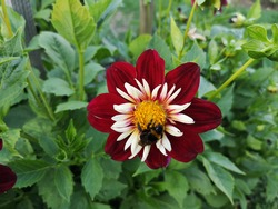 Bumblebee on a dark red with a white center of a Dahlia flower on a background of green foliage in the Park.