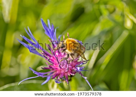 bumblebee on a Star Thistle close-up Stock photo ©