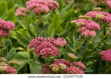 Bumblebee on beautiful decorative garden plant. Sedum (Sedum spectabile) at autumn sunny day. Flower card background with pink sedum and sun rays or floral wallpaper