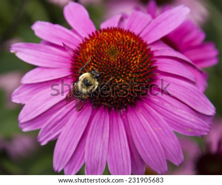 Bumblebee on cone flower