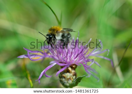Bumblebee on Cornflower, like other cornflowers, is an excellent nectarodic and pylodary plant and blooms long until autumn. #1481361725