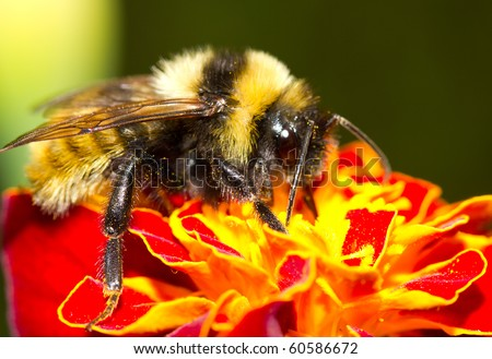 bumblebee on flower