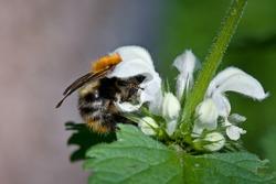 Bumblebee on flower of White Nettle
