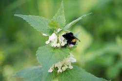 bumblebee on fragrant flowering nettle