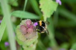 Bumblebee on Purple Dead Nettle Flowers in Springtime