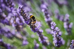 Bumblebee on the lavender in summertime