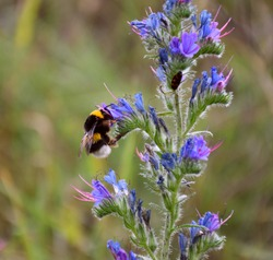 Bumblebee on the left sucking nectar in flower of Tongue of cow (Echium vulgare).