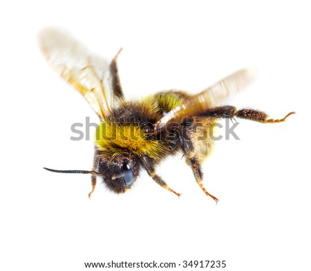 bumblebee on white background