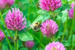 Bumblebee pollen on pink clover close up. Humblebee nectaring on trifolium flower in spring green fields at sunny light day, selective focus