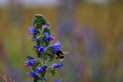 Bumblebee Pollinates Echium Vulgare also known as Blueweed or Viper's Bugloss on the Meadow in Czech Republic.